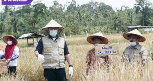 H Herman Deru Gubernur Sumsel melakukan Panen Raya Padi Sawah Varietas Mikongga bersama para petani di Desa Surabaya, Kecamatan Banding Agung, Kabupaten OKU Selatan. FOTO : VIRALSUMSEL.COM